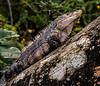 Manuel Antonio Park - Spiked Iguana