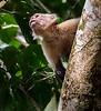 Caletas Reserve - Osa Peninsula - Capuchin Monkey