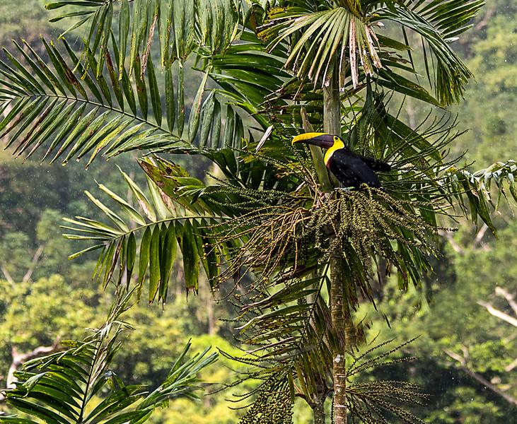 Black Mandible Toucan (AKA Yellow Throated Toucan) Casa Orquideas Botanical Garden
