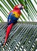 Scarlet Macaw - Casa Orquideas Botanical Garden