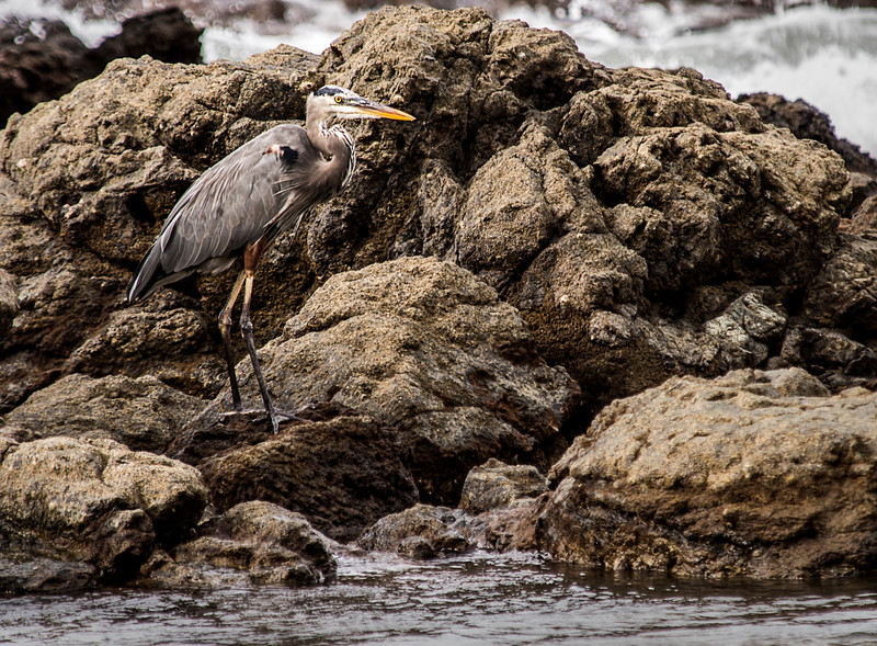 Caletas Reserve - Osa Peninsula - Great Blue Heron
