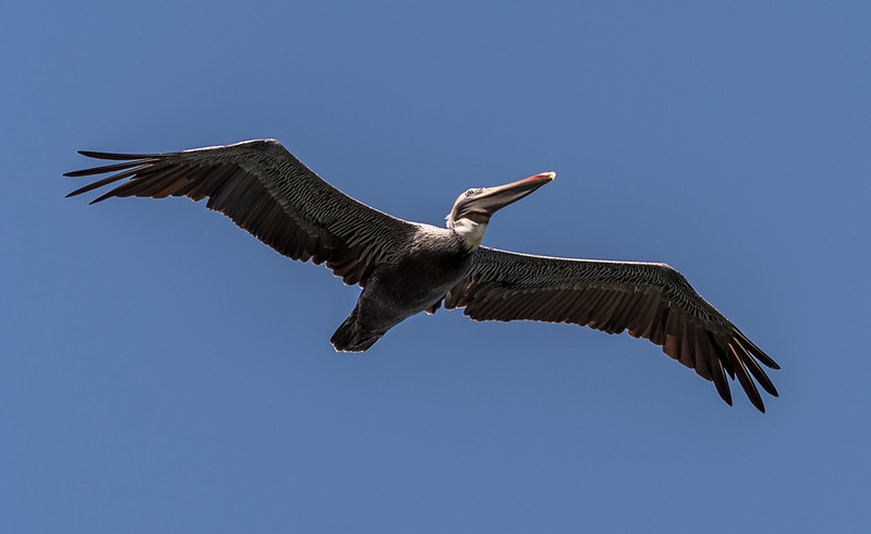 Brown Pelican - Golfo Dulce