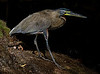 Blue-Throated Tiger Heron - Agujitas River, Osa Peninsula
