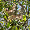 Sloth - Golfo Dulce