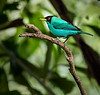 Green Honey Creeper - Casa Orquideas Botanical Garden
