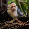 Manuel Antonio Park - Capuchin Monkey