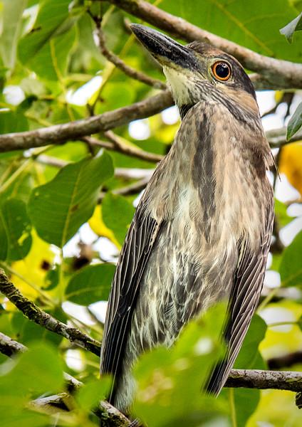 Agujitas River, Osa Peninsula - Yellow-Crowned Night Heron (Juvenile)