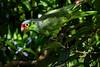 Red Loard Parrot - Casa Orquideas Botanical Garden