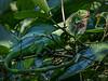 Manuel Antonio Park - Green Iguana