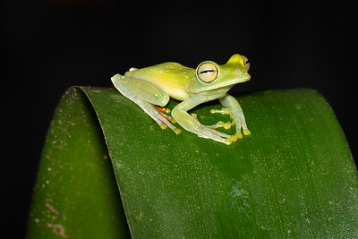 Red-webbed Tree Frog