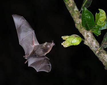 Geoffroy's Tailless Bat