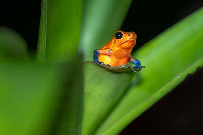 "Strawberry Poison Dart Frog (""Bluejeans"")"
