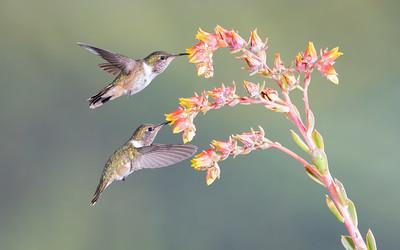 Volcano Hummingbirds