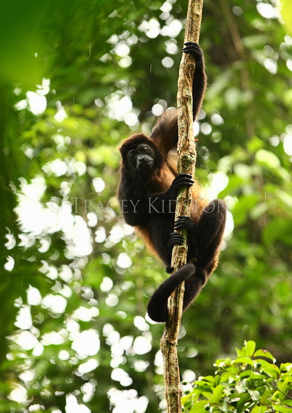 Mantled Howler Monkey (Alouatta palliata)<br /> <br /> You may purchase a print or a digital download. If purchasing a digital download please look at the licensing agreement terms for personal or commercial use.