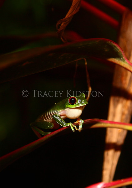 Red-eyed Tree-Frog (Agalychnis callidryas)<br /> <br /> You may purchase a print or a digital download. If purchasing a digital download please look at the licensing agreement terms for personal or commercial use.