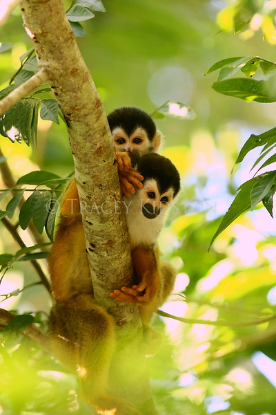 Squirrel Monkey (Saimiri oerstedii)<br /> <br /> You may purchase a print or a digital download. If purchasing a digital download please look at the licensing agreement terms for personal or commercial use.