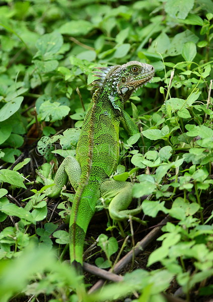 Green Iguana (Iguana iguana)<br /> <br /> You may purchase a print or a digital download. If purchasing a digital download please look at the licensing agreement terms for personal or commercial use.