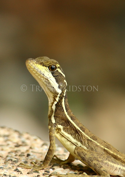 Basilisk Lizard (Basiliscus basiliscus)<br /> <br /> You may purchase a print or a digital download. If purchasing a digital download please look at the licensing agreement terms for personal or commercial use.