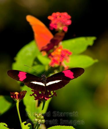 Rosina or Postman Butterfly