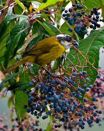 Sooty-capped Bush Tanager eating berries