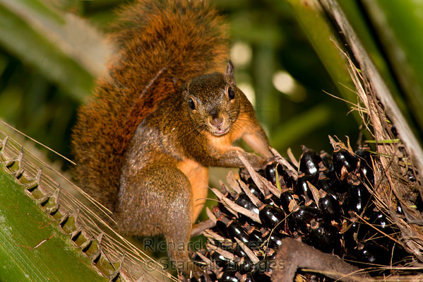 Squirrel feasting on palm nuts