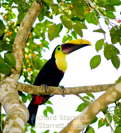 Chestnut mandibled toucan