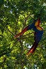 Scarlet Macaws mating