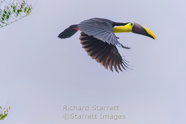 Chestnut mandibled toucan in flight