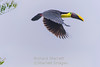 Chestnut mandibled toucan in flight