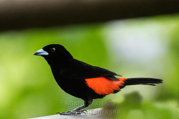 Scarlet-rumped Tanager, male
