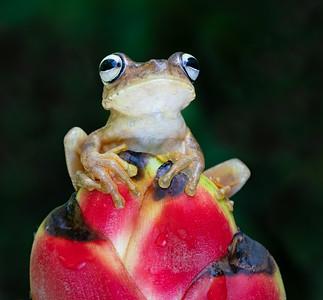 Rosenberg's GladiatorTree Frog