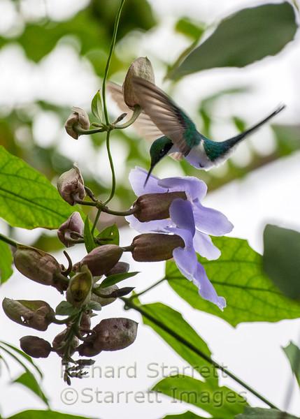 Purple Crowned Fairy
