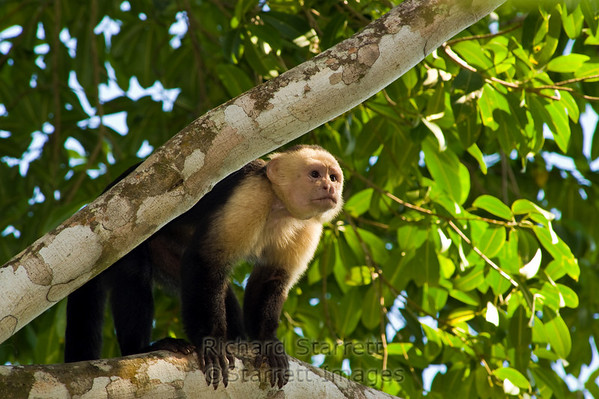 White-faced (Capuchin) Monkey
