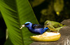 Red legged honeycreeper with a juvenile