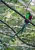 Respledent Quetzal, male