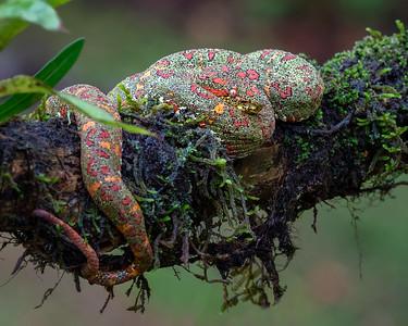 Green Eyelash Pit Viper