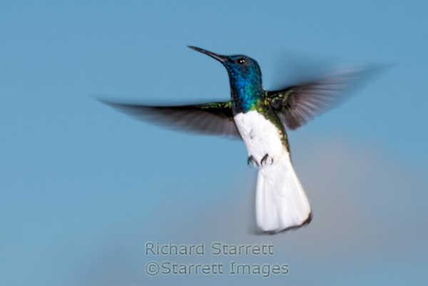 White-necked Jacobin male displaying