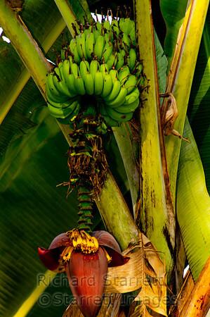Banana Flower