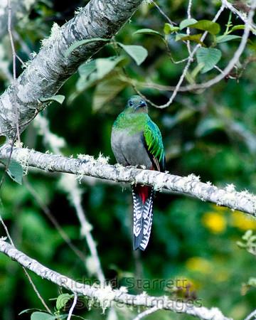 Respledent Quetzal, female
