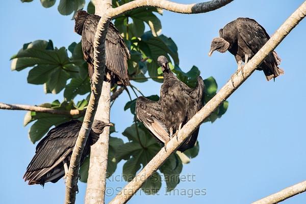 Black Vultures, sunning