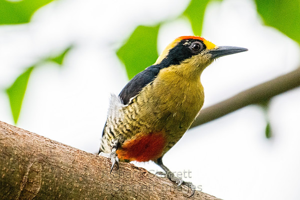 Golden-naped Woodpecker, male