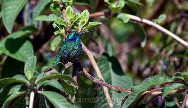 Saphire-throated Hummingbird