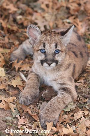 Cougar Cubs
