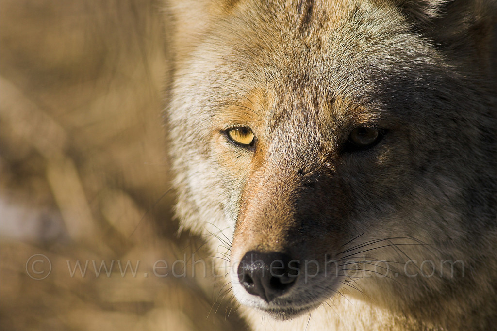 Coyote - Yosemite Valley 2006