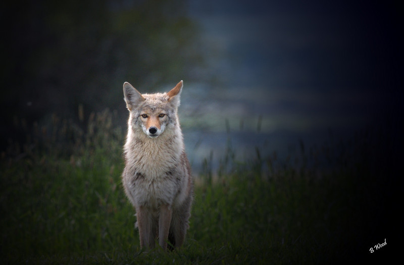 CL 07MY5937<br /> Coyote (Canis latrans).