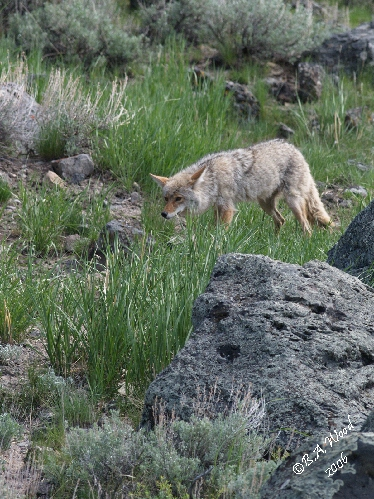 CL 06MY4852<br /> Coyote (Canus latrans):<br /> <br /> This one was hunting ground squirrels.