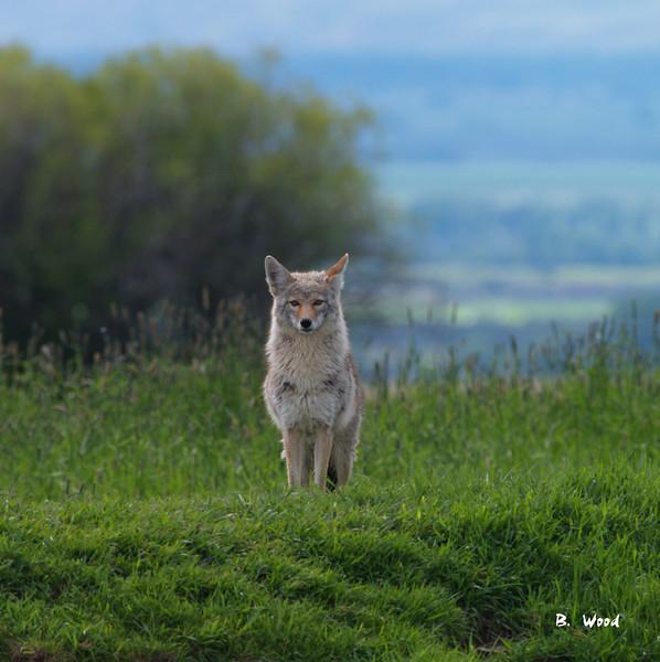 CL 07MY5938<br /> Coyote (Canus latrans).