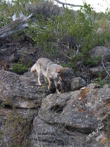 CL 06MY4864<br /> Female coyote carrying pup back to the den (Canis latrans).<br /> <br /> FYI:  Did you know that coyotes have 42 teeth?  20 on the top and 22 on their lower jaw?<br /> <br /> All canids do.