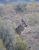 Coyote (Canis latrans) : ALL IMAGES IN THIS GALLERY ARE COPYRIGHTED, ©Becca Wood - B. Wood Photography.