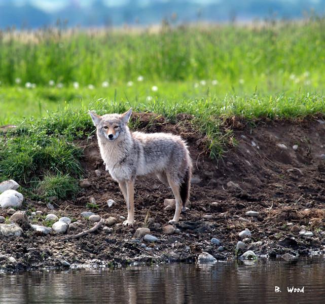 CL 07MY5932<br /> Coyote (Canus latrans).